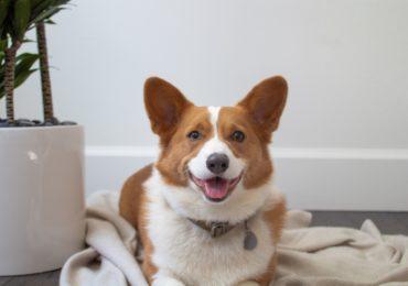 tsawwassen family dental corgi office dog named Winston